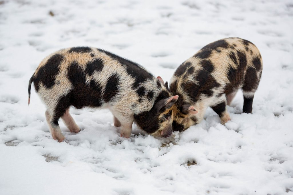 baby Pigs piglets at South Farm Winter Wedding.